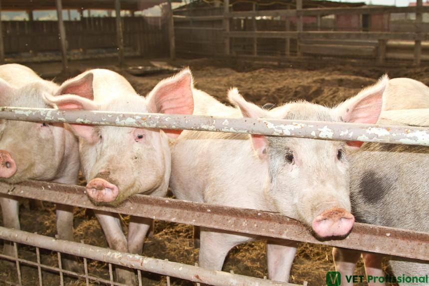 Suinocultura: medidas de biosseguridade necessárias na granja