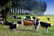 Por que garantir maior conforto térmico ao gado leiteiro?