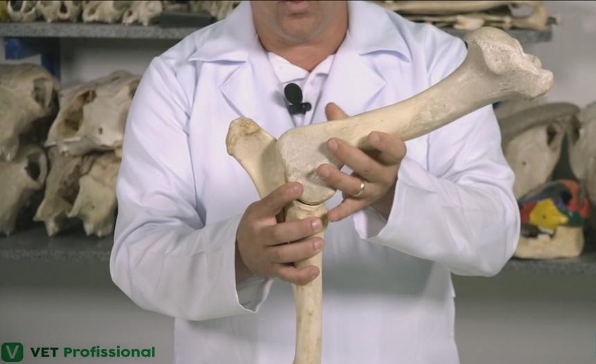 Osteologia do membro torácico: articulação úmero radioulnar