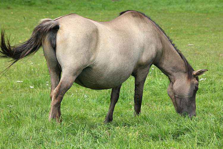 Égua prenhe - imagem ilustrativa