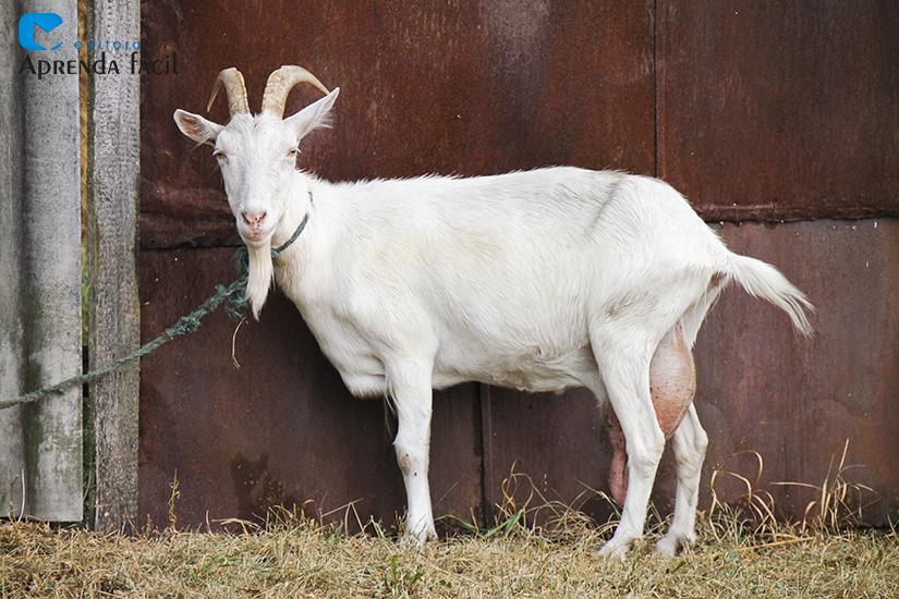 Cabra leiteira - imagem meramente ilustrativa