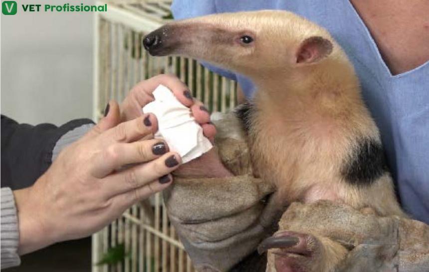 Tamanduá-mirim: Sr. Veterinário, como realizar o atendimento desse animal?