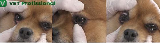 Procedimento de eversão de pálpebras de um cão.