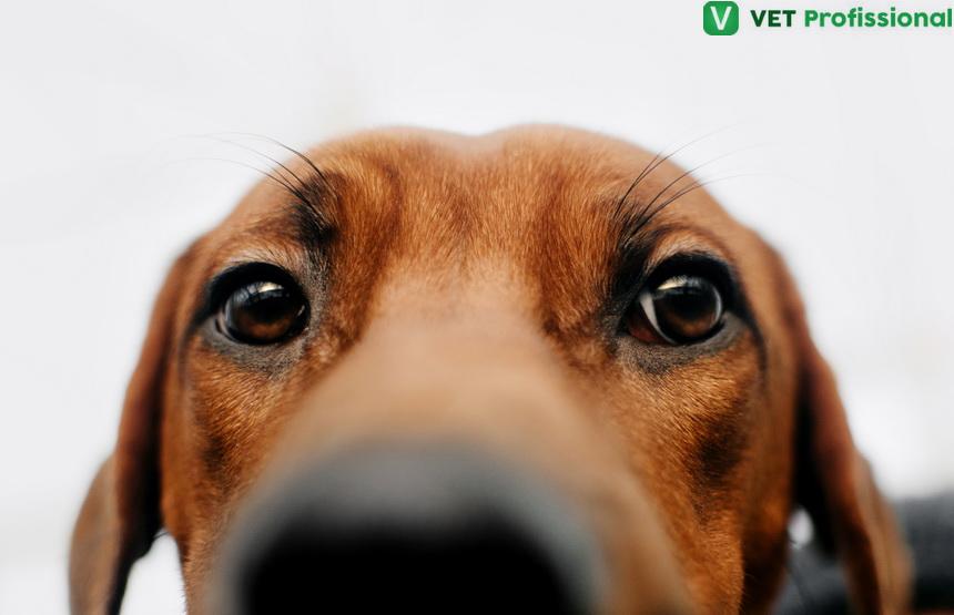 Exames oftálmicos em animais domésticos: por onde começar?