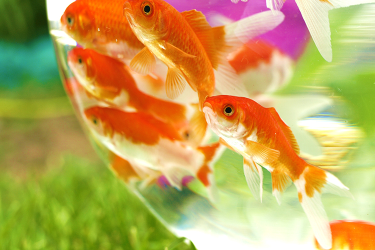 Peixes ornamentais - imagem meramente ilustrativa