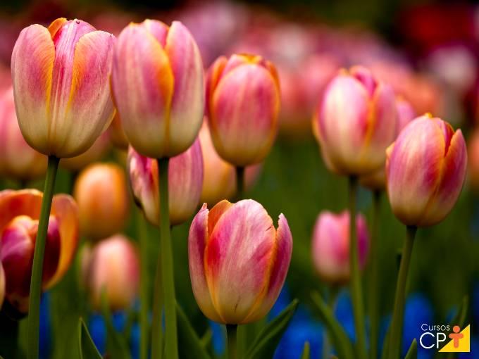 Dicas de ouro para cultivar tulipas em vasos
