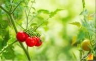 Como plantar tomate-cereja em casa?