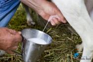 Como realizar a ordenha de cabras leiteiras?