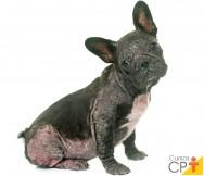 Demodiciose canina generalizada. O que é e como tratar?