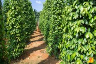 Aprenda agora a plantar pimenta-do-reino