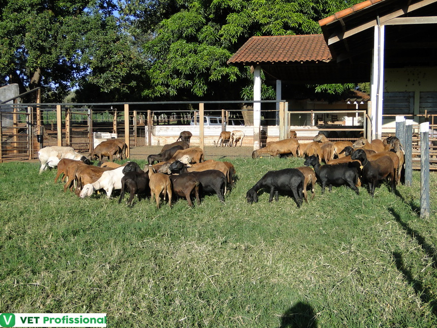 Ovinos em sistema orgânico de produção