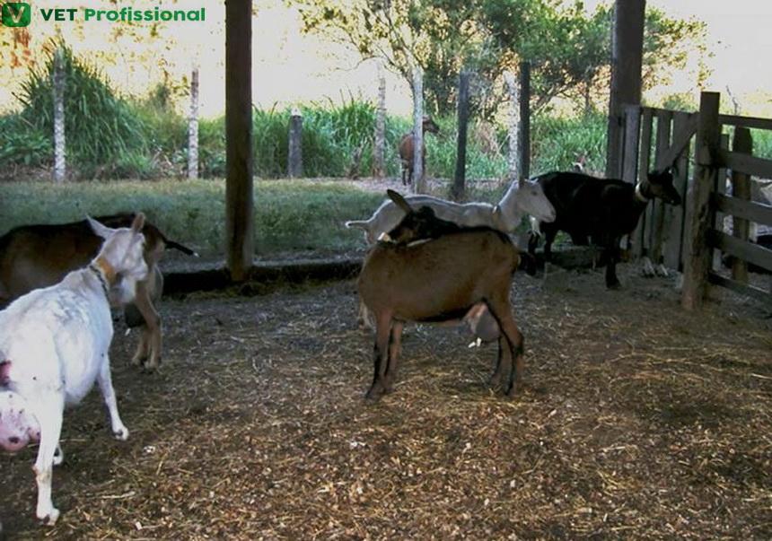 Saiba quais são os cuidados necessários no manejo da cabra prenha a fim de evitar o estresse e a ocorrência de abortos