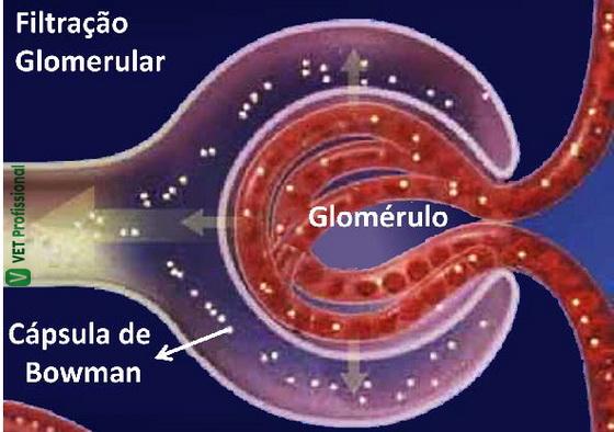 Ilustração do processo de filtração glomerular no interior da Cápsula de Bowman.