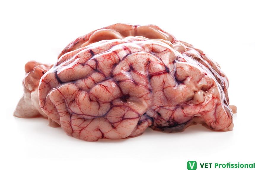 Necropsia de ovinos: avaliação da cabeça e remoção do cérebro