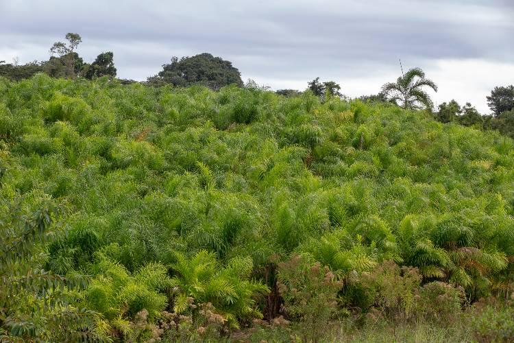 Como produzir palmito de pupunha para conserva?