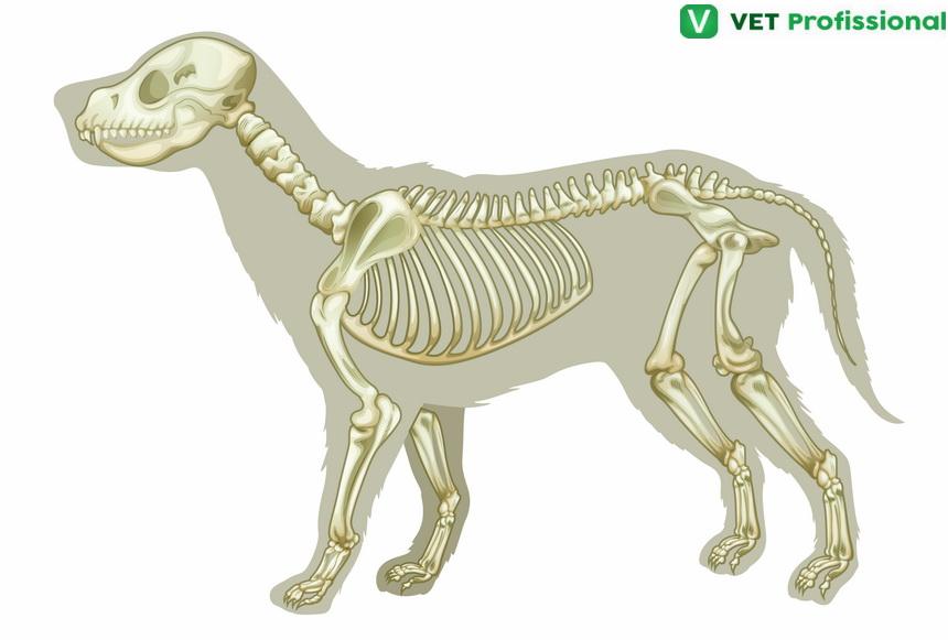 Osteologia animal – membros torácico e pélvico: entenda a semelhança entre eles