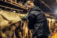 Passo a passo para a realização da inseminação artificial de bovinos