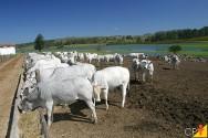 O que preciso saber sobre o sistema digestivo dos bovinos?