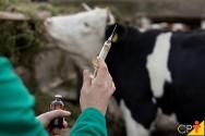 Como é possível administrar medicamentos em bovinos?