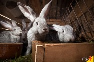 Como funciona a gestação dos coelhos?