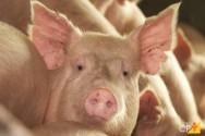 4 doenças mais comuns em suínos