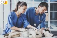 Degeneração mixomatosa valvar em cães e gatos. Aprenda!