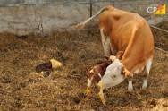 Tecnologias reprodutivas em avanço na pecuária nacional