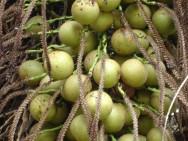 A Acrocomia aculeata é uma planta nativa brasileira com grande potencial para extração de óleo vegetal destinado à produção de biodiesel.