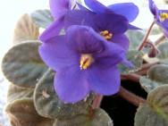As violetas são muito procuradas para se presentear em datas comemorativas.