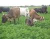 Pesquisa da Embrapa comprova as vantagens da produção de leite a pasto