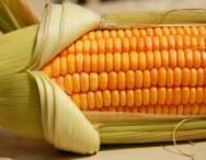 Você sabe qual é o milho que está fornecendo aos seus animais?