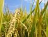 O antes e o depois da colheita são decisivos na produção de arroz