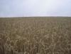 Variedade de trigo permite aumento na produtividade e redução na quantidade de defensivos