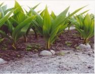Sistema alternativo de cultivo de coco anão reduz custos