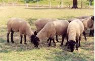 Os ovinos são hábeis em transformar fibras vegetais em proteína animal.