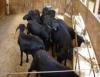 Confinamento de ovinos