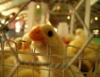 Cresce a exportação de frangos no Brasil