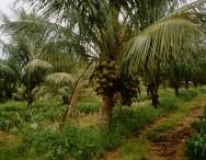 Deficiência de nitrogênio pode afetar o cultivo de coqueiro anão