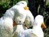 A ascensão da avicultura