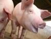 Carne de porco barata e de qualidade agrada ao consumidor