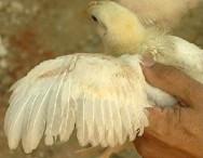 Separação por sexo otimiza produção de frangos de corte
