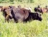 Pecuária sustentável é possível