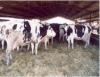 Método de castração de bovinos e suínos por meio de vacinação