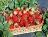 Produção de morangos orgânicos