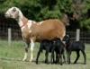 Ovinos deslanados, excelente opção para ovinocultores brasileiros
