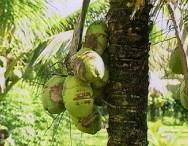 Causas da queda prematura de frutos do coqueiro anão