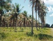 A irrigação do coqueiro no Brasil