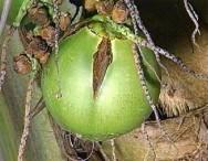 Efeito do controle cultural e químico sobre o ácaro da necrose do coqueiro, em coco anão irrigado