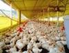 Mapa apresenta projeto para a avicultura industrial