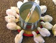 Recepção de pintinhos determina qualidade do plantel avícola